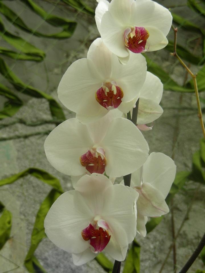 Fotografie delle orchidee for Nuovo stelo orchidea